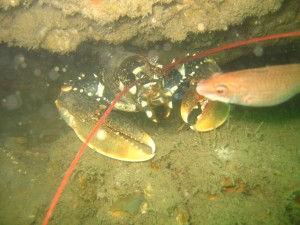 Lobster in a chalk hollow with a female cuckoo wrasse