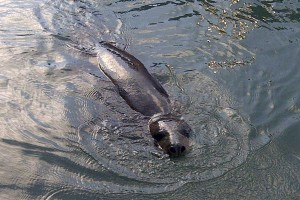 Seal in Brighton Marina