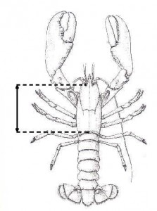 measurelobster